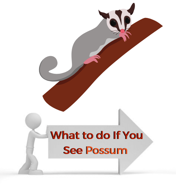 What to do If You See Possum