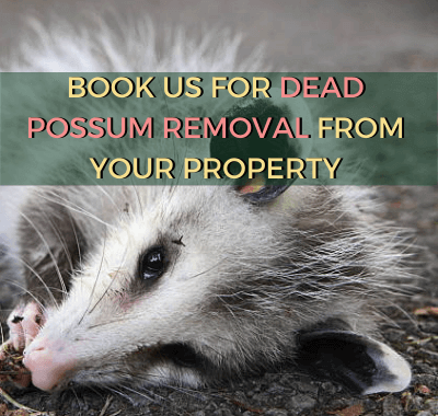 dead possum lying on rough surface
