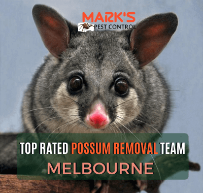 Squirrel glider pussum and text on image top rated possum removal Pakenham