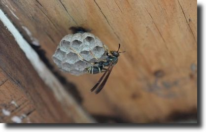 wasp nest inside home