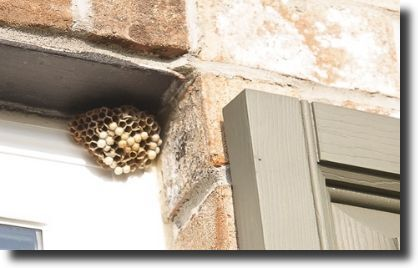 wasp roof nest