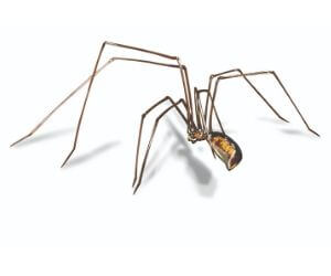 Long-bodied Cellar Spiders