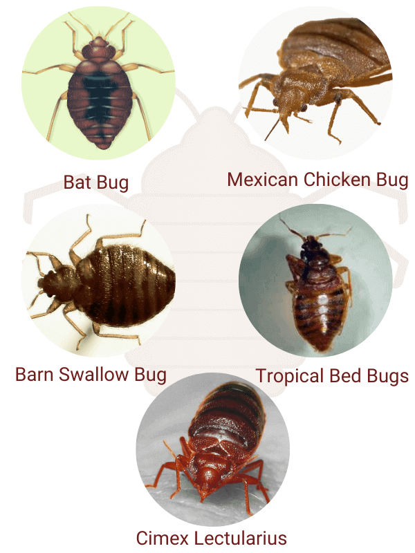 common type of bedbugs