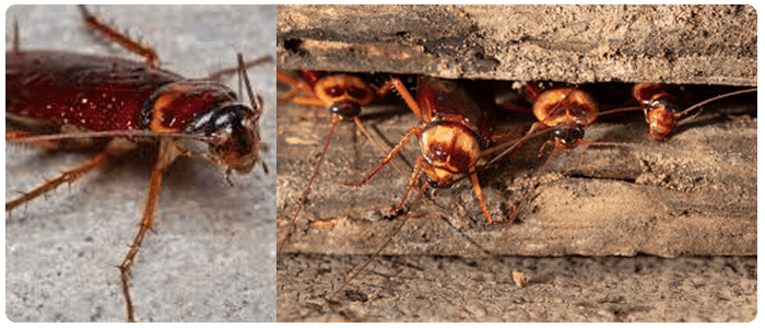 Get A Professional Help For Cockroach Control