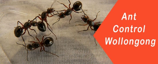 Ant control Wollongong